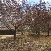 Integrated fusarium wilt management (IFWM) in cashew crop