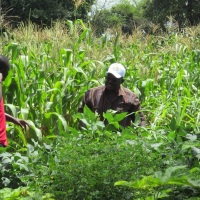 Alternative to using weedicides: Maximizing weed suppression through direct seeding mulch-based cropping system in Lawra, Ghana
