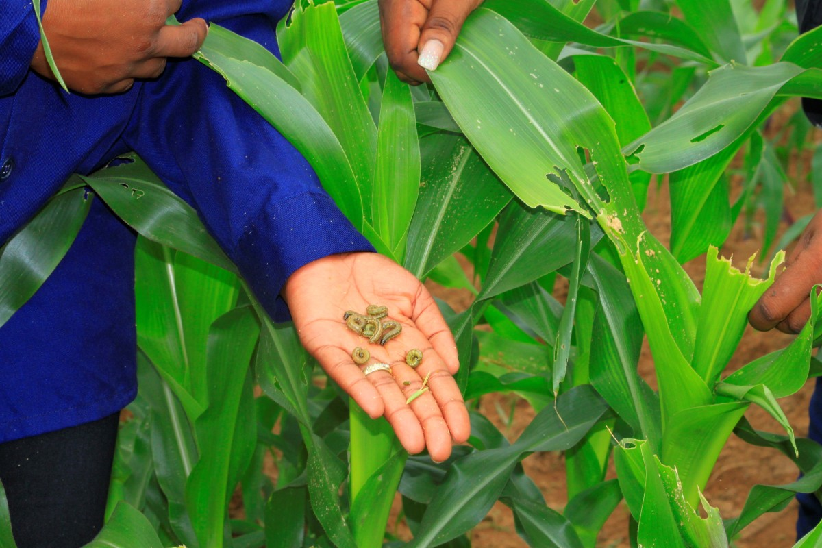 Strengthening awareness and knowledge transfer for sustainable management of Fall Armyworms on the Copperbelt province of Zambia